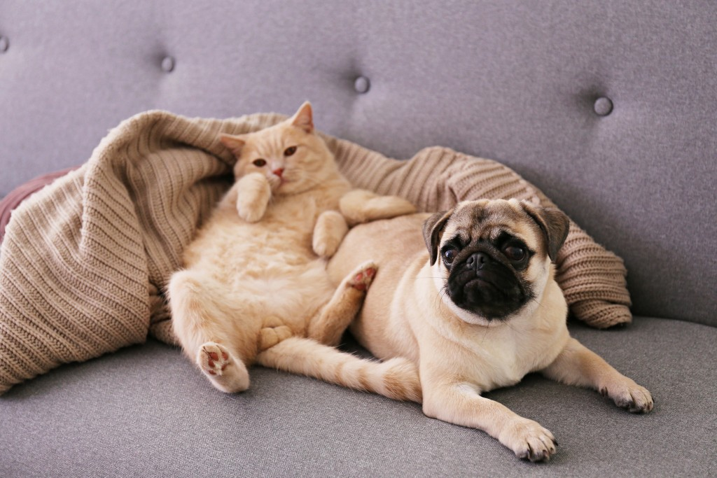 Adorable Pug And Cute Cat Sitting Together On The Couch.