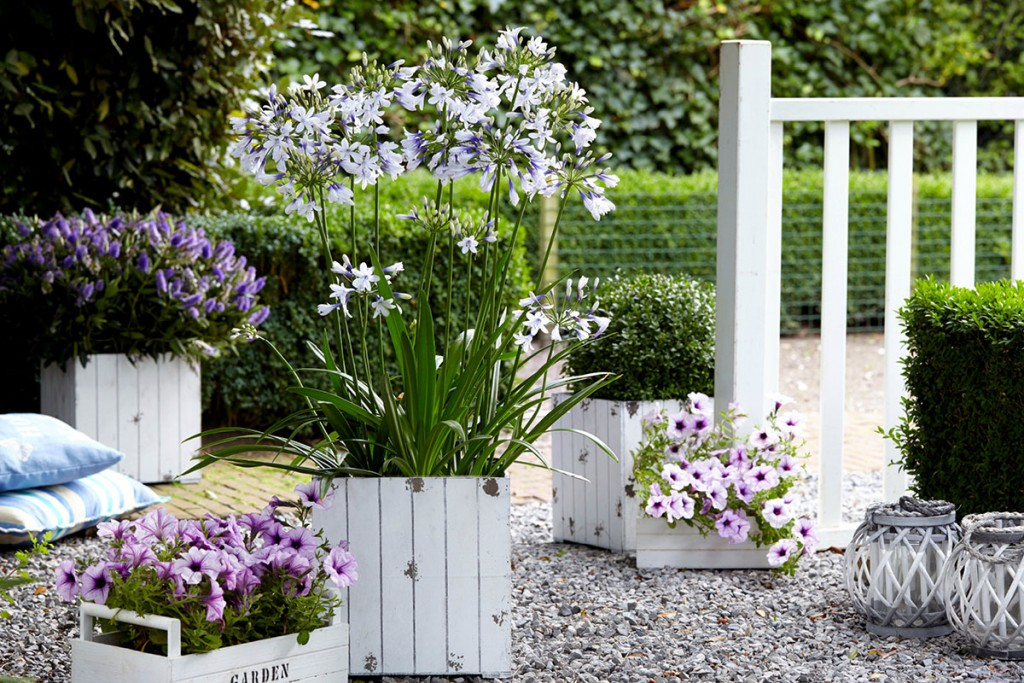 Style Your Home And Patio With Agapanthus 1200x800