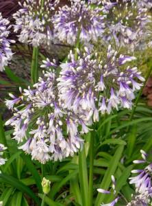 Ever Twilight Agapanthus Bloom Pbm Scaled