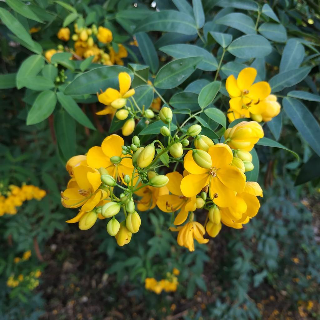 Senna,tora,(cassia,tora,,sickle,senna,or,sickle,wild),is