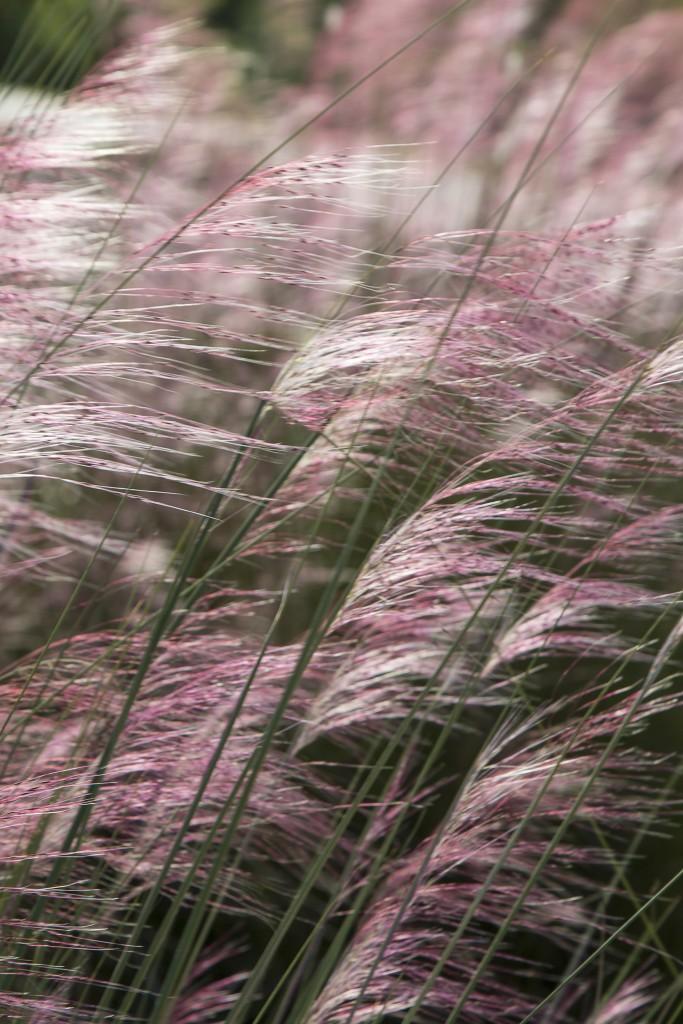 Muhly Grass (muhlenbergia)
