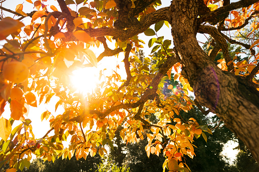Persimmon Tree In Autumn On A Sunny Day